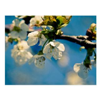 Cherry Blossom • Postcard