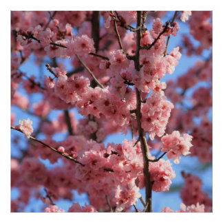 Cherry Blossom Posters