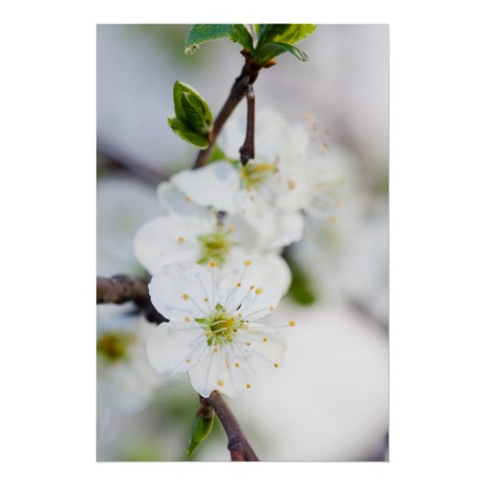 Cherry blossom poster/canvas print
