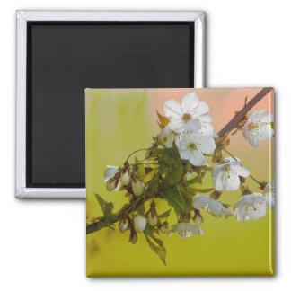 Cherry Blossom Refrigerator Magnets