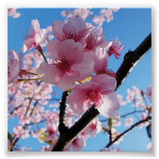 Cherry Blossom Square Poster