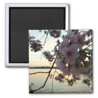 Cherry Blossom Sunset in Washington DC Magnet