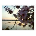 Cherry Blossom Sunset in Washington DC Postcard