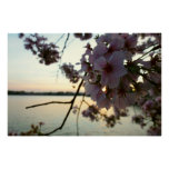 Cherry Blossom Sunset in Washington DC Poster