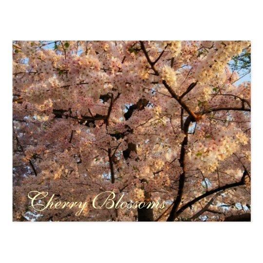 Cherry Blossom Trees Postcard