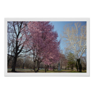 Cherry Blossom Trees Poster