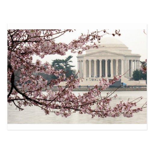 Cherry Blossom Washington DC Post Card
