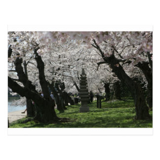 Cherry Blossom Washington DC Postcard
