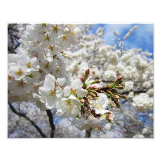 Cherry Blossoms 11 Print Photograph