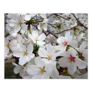 Cherry Blossoms 1 Print Photograph