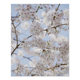 Cherry blossoms 2 poster