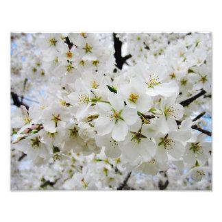 Cherry Blossoms 3 Print Photo Print
