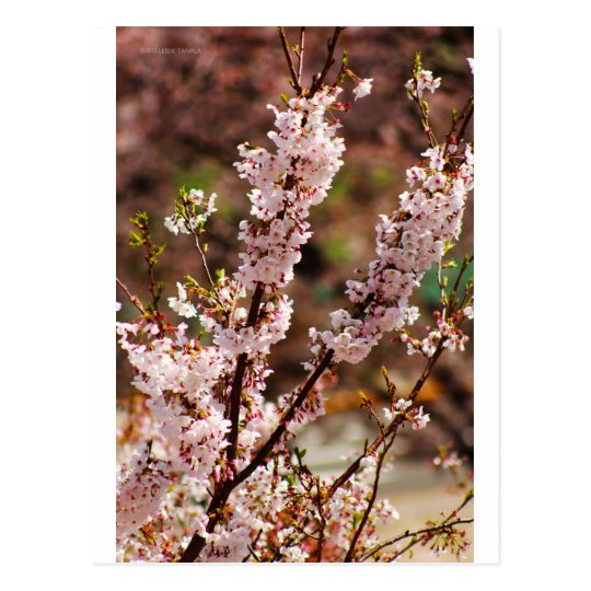 Cherry Blossoms 4 Postcard