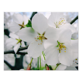 Cherry Blossoms 4 Print Photograph