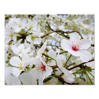 Cherry Blossoms 5 Print Photo Print