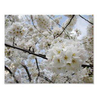 Cherry Blossoms 6 Print Photo Print