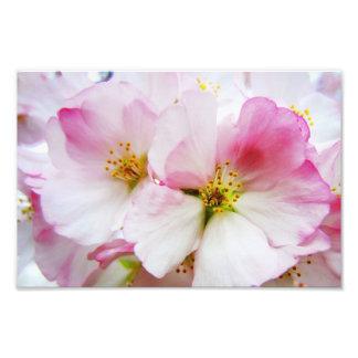 Cherry Blossoms 8 Print Photo