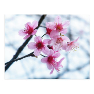 Cherry Blossoms - A Postcard
