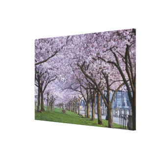 Cherry blossoms along Willamette river, USA Gallery Wrapped Canvas