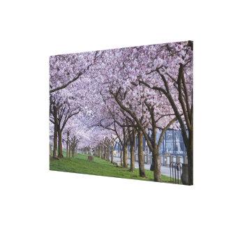 Cherry blossoms along Willamette river, USA Canvas Print