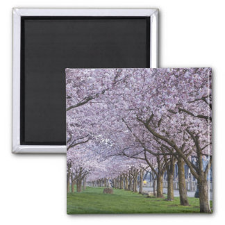 Cherry blossoms along Willamette river, USA Magnet