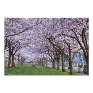 Cherry blossoms along Willamette river, USA Photographic Print