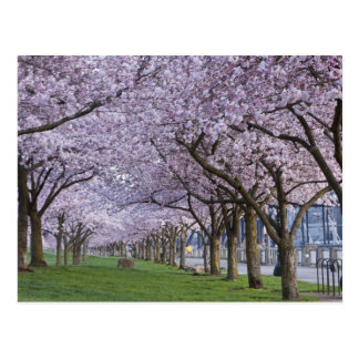 Cherry blossoms along Willamette river, USA Postcard