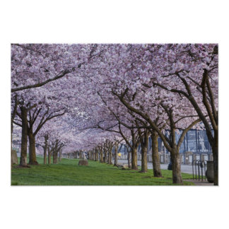Cherry blossoms along Willamette river, USA Poster