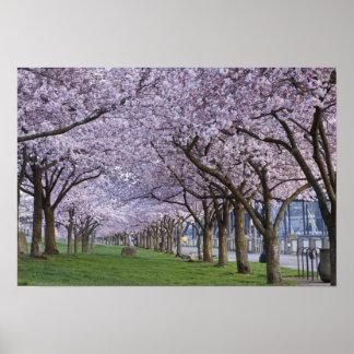 Cherry blossoms along Willamette river, USA Print