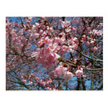 Cherry Blossoms and Bee Pink Spring Floral Postcard