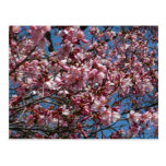 Cherry Blossoms and Blue Sky Spring Floral Postcard