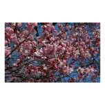 Cherry Blossoms and Blue Sky Spring Floral Poster