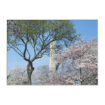 Cherry Blossoms and the Washington Monument in DC Acrylic Wall Art
