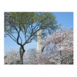 Cherry Blossoms and the Washington Monument in DC Postcard