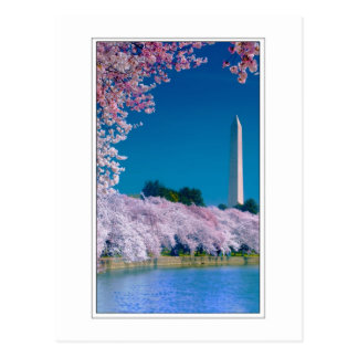 Cherry Blossoms and the Washington Monument Postcard
