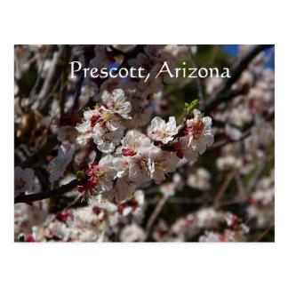 Cherry Blossoms blooming in Prescott,Arizona Postcard