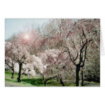 Cherry Blossoms Cards