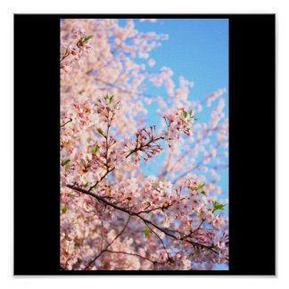 Cherry Blossoms in Japan Posters