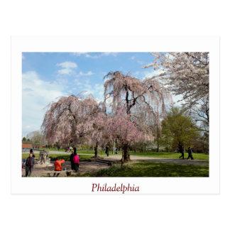 Cherry Blossoms in Philadelphia Postcard