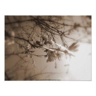 cherry blossoms in the sun, sepia poster