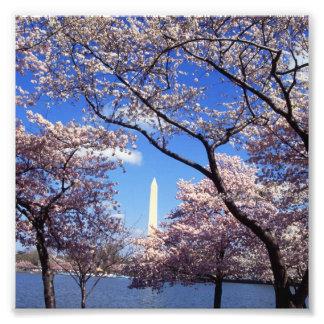 Cherry Blossoms in Washington D.C. Photo