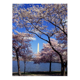 Cherry Blossoms in Washington D.C. Postcard