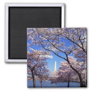 Cherry Blossoms in Washington DC fridge magnet