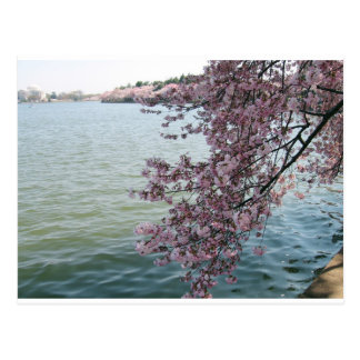 Cherry Blossoms in Washington DC Postcard