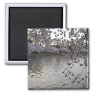cherry blossoms late afternoon 2 inch square magnet