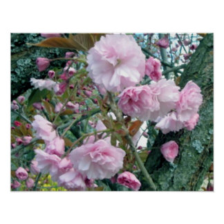 Cherry Blossoms Oil Painting Poster