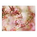 Cherry Blossoms Photo Postcard