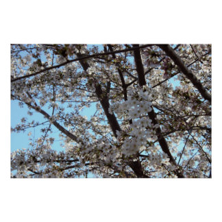Cherry Blossoms Photo Poster