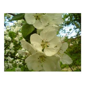 Cherry blossoms postcard