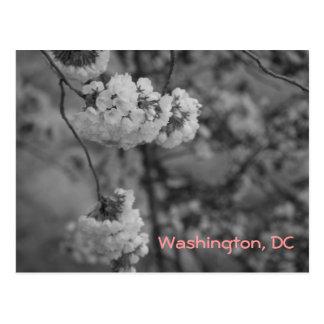 Cherry Blossoms: Washington, DC Postcard